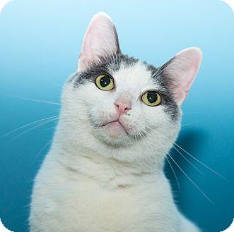 Domestic Shorthair Cat for adoption in Seville, Ohio - Feo - SPONSORED!
