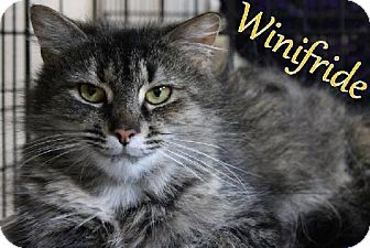 Maine Coon Cat for adoption in Lewisburg, West Virginia - Winifride