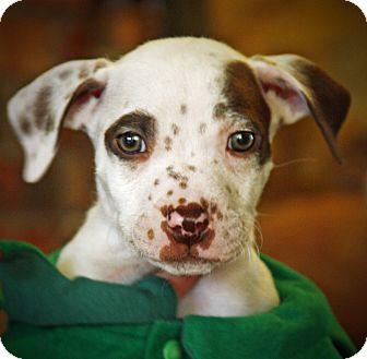 Boxer/Bulldog Mix Puppy for adoption in CHICAGO, Illinois - HARRY