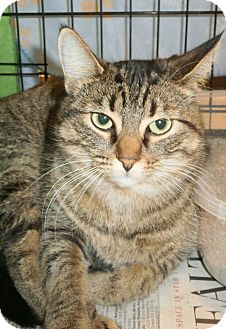 Domestic Shorthair Cat for adoption in Leamington, Ontario - Princess