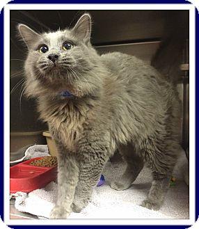 Domestic Mediumhair Cat for adoption in Marietta, Georgia - MACKIE (R)