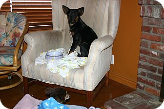 Miniature Pinscher/Shepherd (Unknown Type) Mix Dog for adoption in Corona, California - Boom Boom, mini pin/shepherd