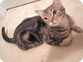 Domestic Shorthair Kitten for adoption in The Colony, Texas - Mogli