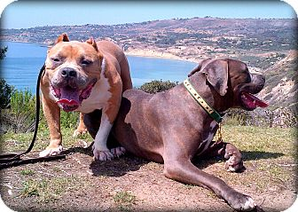 American Staffordshire Terrier/American Pit Bull Terrier Mix Dog for adoption in Hermosa, California - BeefCake