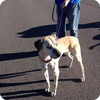 Black Mouth Cur Dog for adoption in Cedaredge, Colorado - King