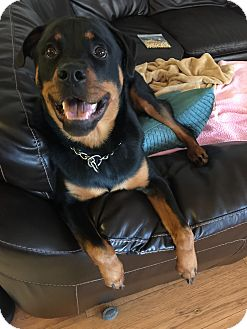Rottweiler Dog for adoption in Seffner, Florida - MAXIMUS