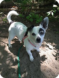 Corgi/Jack Russell Terrier Mix Dog for adoption in Norwalk, Connecticut - Domino
