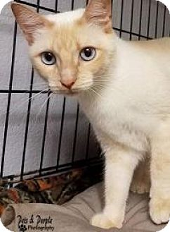 Siamese Cat for adoption in Yukon, Oklahoma - Eclipse