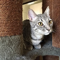 Adopt A Pet :: Quaid - Hesperia, CA