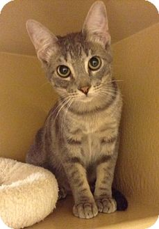 Domestic Shorthair Kitten for adoption in Houston, Texas - Julius