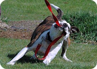 American Pit Bull Terrier/Husky Mix Dog for adoption in Tacoma, Washington - Farrah