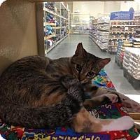 Adopt A Pet :: Dara - Menands, NY
