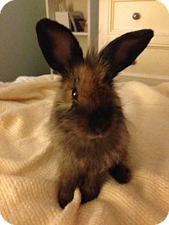 Lionhead Mix for adoption in Los Angeles, California - Athena