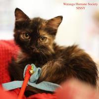 Adopt A Pet :: Sissy - Boone, NC