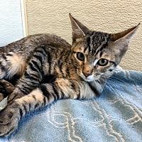 Adopt A Pet :: Tink - Las Vegas, NV