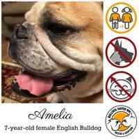 Adopt A Pet :: Amelia - Everett, WA