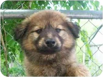 Border Collie/German Shepherd Dog Mix Puppy for adoption in Spruce Pine, North Carolina - T- Bone