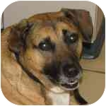 Shepherd (Unknown Type) Mix Dog for adoption in Eatontown, New Jersey - Harley