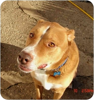 American Staffordshire Terrier/Labrador Retriever Mix Dog for adoption in New York, New York - Nick