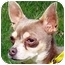Photo 4 - Chihuahua Dog for adoption in Osseo, Minnesota - Boaz