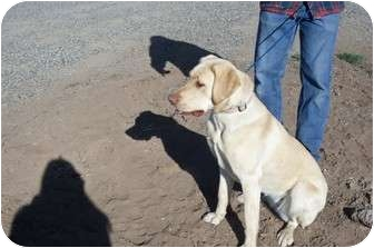 Labrador Retriever Dog for adoption in Cedaredge, Colorado - Lilly