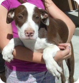 American Pit Bull Terrier/Hound (Unknown Type) Mix Puppy for adoption in Corona, California - MICHAEL