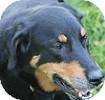 Labrador Retriever/Shepherd (Unknown Type) Mix Dog for adoption in Hamilton, Ontario - Buddy