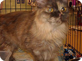 Munchkin Cat for adoption in Riverside, Rhode Island - Blaze