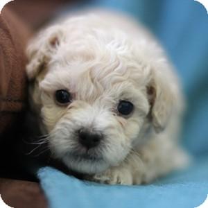 Bichon Frise Mix Puppy for adoption in La Costa, California - Gideon