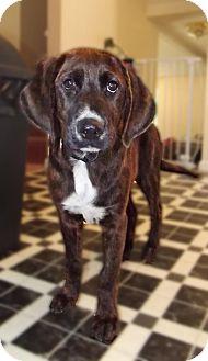 Plott Hound Mix Puppy for adoption in Huntsville, Tennessee - Fred