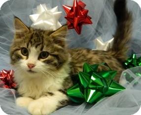 Domestic Mediumhair Cat for adoption in Columbus, Nebraska - Smokey