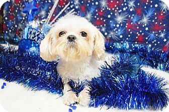 Shih Tzu Mix Dog for adoption in Houston, Texas - Nola Belle Orleans