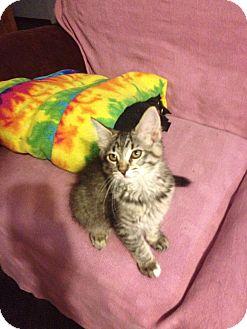 Domestic Longhair Kitten for adoption in Rochester, Minnesota - Annie