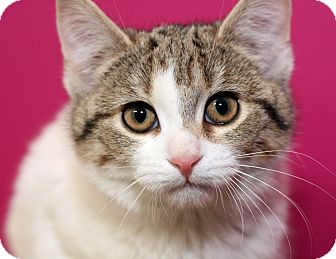 Domestic Shorthair Kitten for adoption in Royal Oak, Michigan - DAISY