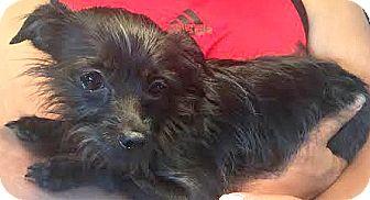 Maltese/Yorkie, Yorkshire Terrier Mix Dog for adoption in Boulder, Colorado - Bella-ADOPTION PENDING