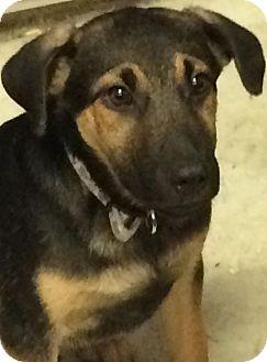 German Shepherd Dog/Shepherd (Unknown Type) Mix Puppy for adoption in Ocean View, New Jersey - Peter
