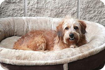 Lhasa Apso/Tibetan Terrier Mix Dog for adoption in Norwalk, Connecticut - Clipper- adoption pending