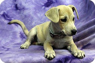 Labrador Retriever Mix Puppy for adoption in Westminster, Colorado - Pudding