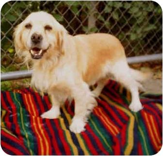 Cocker Spaniel Mix Dog for adoption in Vista, California - Tombie