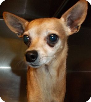 Chihuahua Dog for adoption in Greenville, Kentucky - lost
