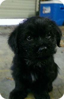 Cocker Spaniel/Poodle (Miniature) Mix Puppy for adoption in HAGGERSTOWN, Maryland - FRANKLIN AND GINGER