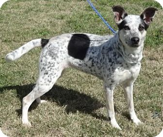 Australian Cattle Dog Mix Dog for adoption in Olive Branch, Mississippi - Dotti