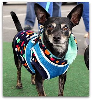 Chihuahua Mix Dog for adoption in Yuba City, California - Pappy