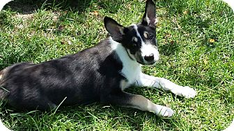 German Shepherd Dog/Husky Mix Puppy for adoption in Ellaville, Georgia - Jasper