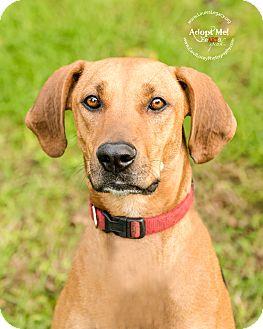 Rhodesian Ridgeback/Redbone Coonhound Mix Dog for adoption in Cincinnati, Ohio - Cheese