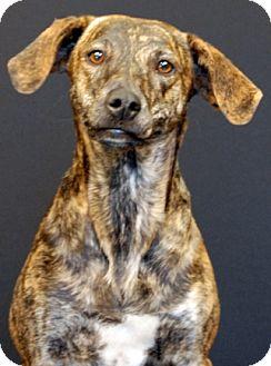 Plott Hound Mix Dog for adoption in Newland, North Carolina - Fancy *Trained