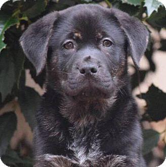 Bernese Mountain Dog/Catahoula Leopard Dog Mix Puppy for adoption in CUMMING, Georgia - Thor