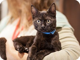 Domestic Shorthair Kitten for adoption in Dallas, Texas - Spice