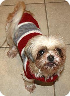 Shih Tzu Mix Dog for adoption in Pilot Point, Texas - Frankie