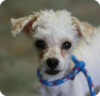 Poodle (Miniature) Dog for adoption in Canoga Park, California - Juicy